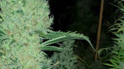 Разкриха модерна оранжерия за марихуана в Еленския Балкан