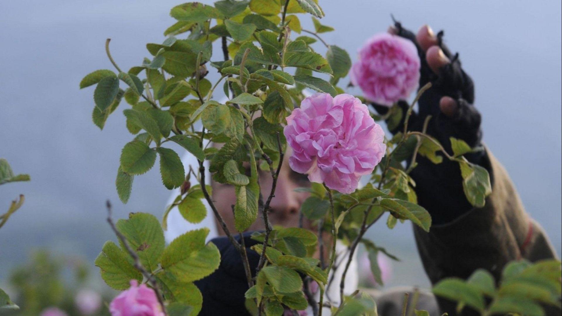Розопроизводители унищожават насажденията си