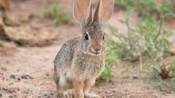 Зайците са били почти опитомени преди около 5000 години