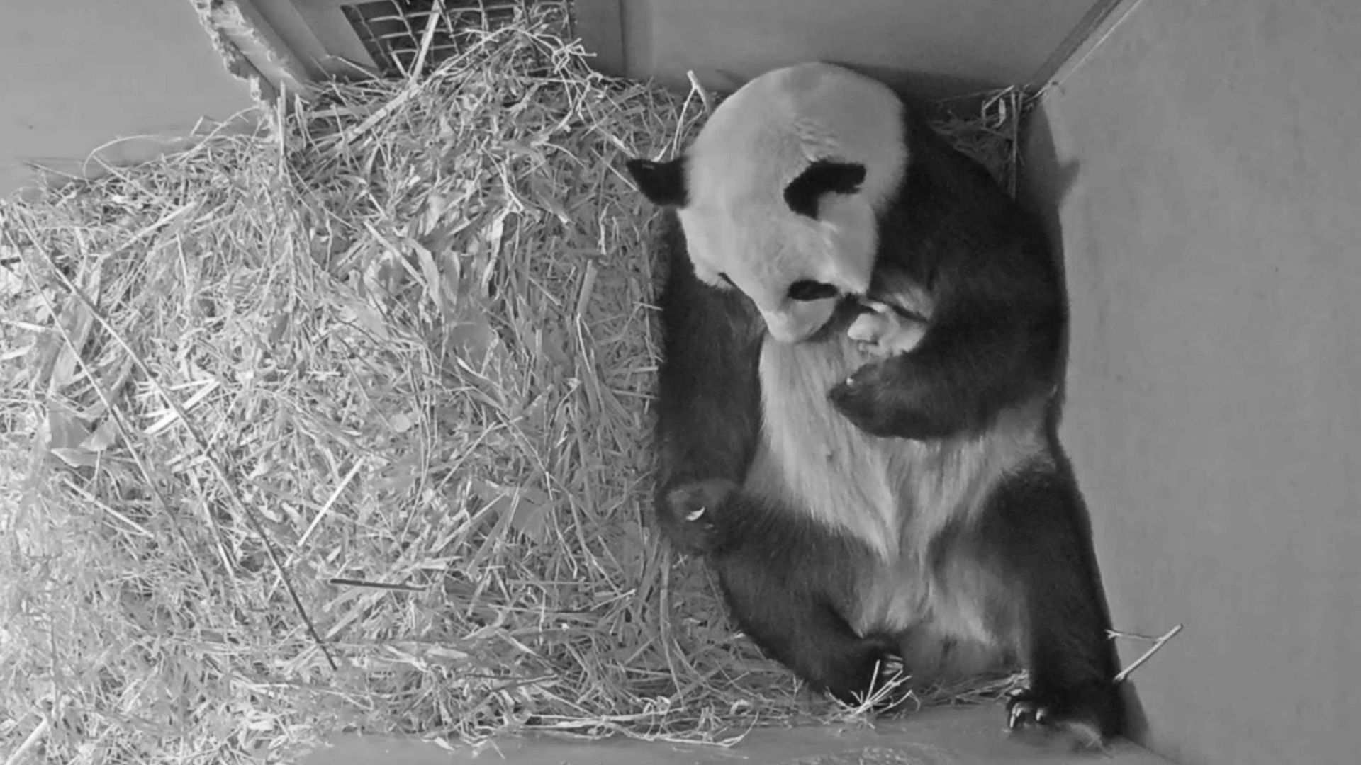 Показаха бебе панда, родено в зоопарк в Нидерландия (видео)