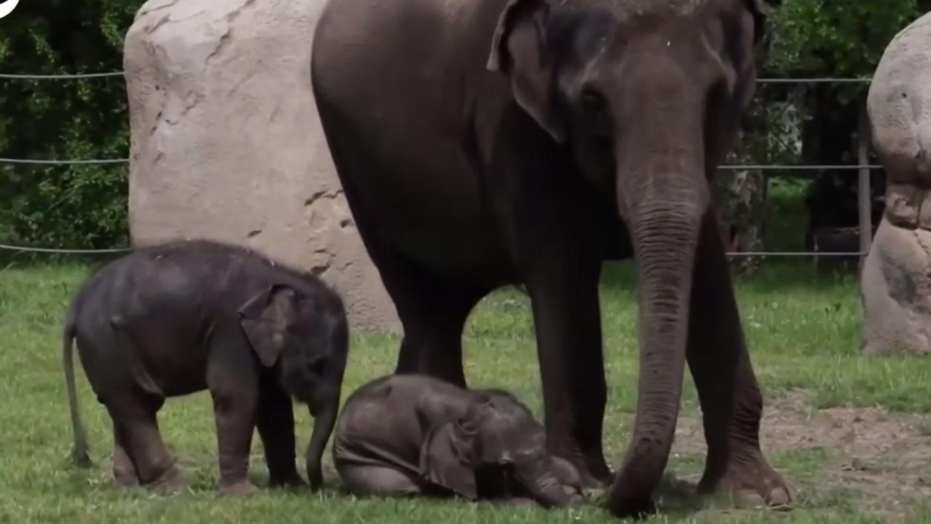 Две малки слончета бяха показани за първи път пред публика