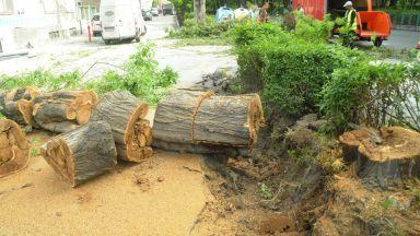Изгнило дърво рухна на бургаски булевард (снимки)