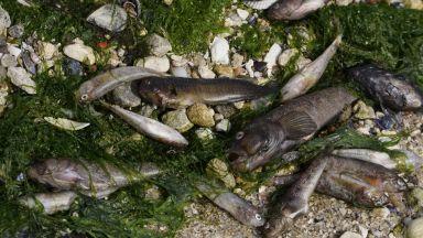Няма връзка между измрялата риба във Варна и спуканата тръба с фекални води