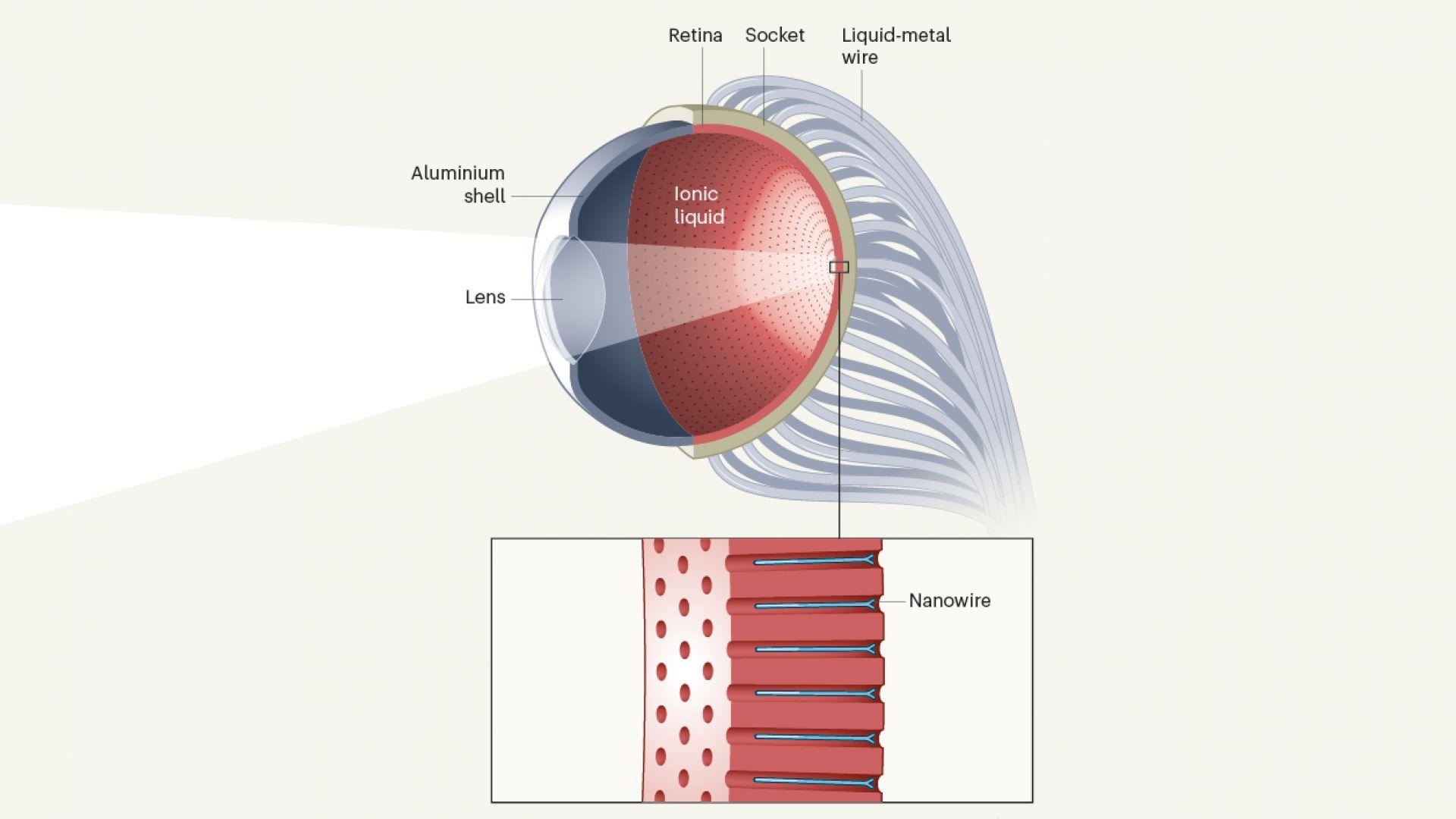Така изглежда схемата на създаденото око