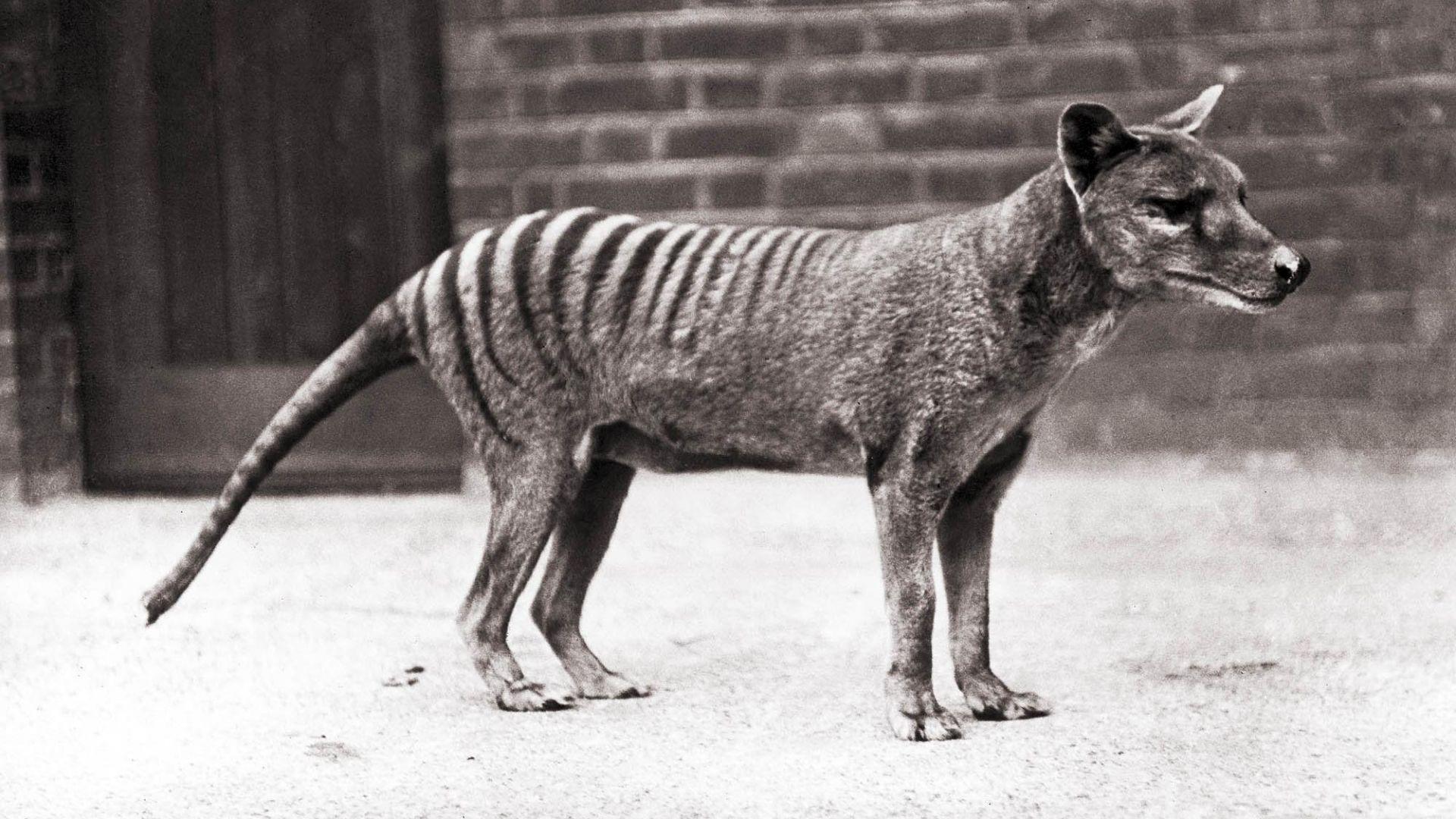 Откриха забравени кадри на изчезналия тасманийски тигър