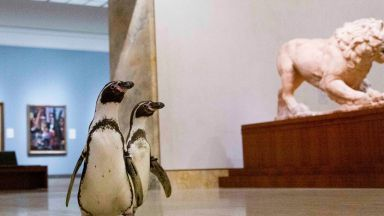 Пингвини се разходиха в музей в Канзас, не свалиха очи от картините (видео)