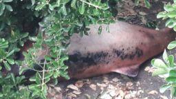 Намериха мъртъв делфин в храстите на спирка във Варна