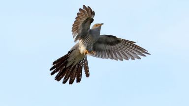 Кукувица прелетя над 12 000 км от Южна Африка до Монголия