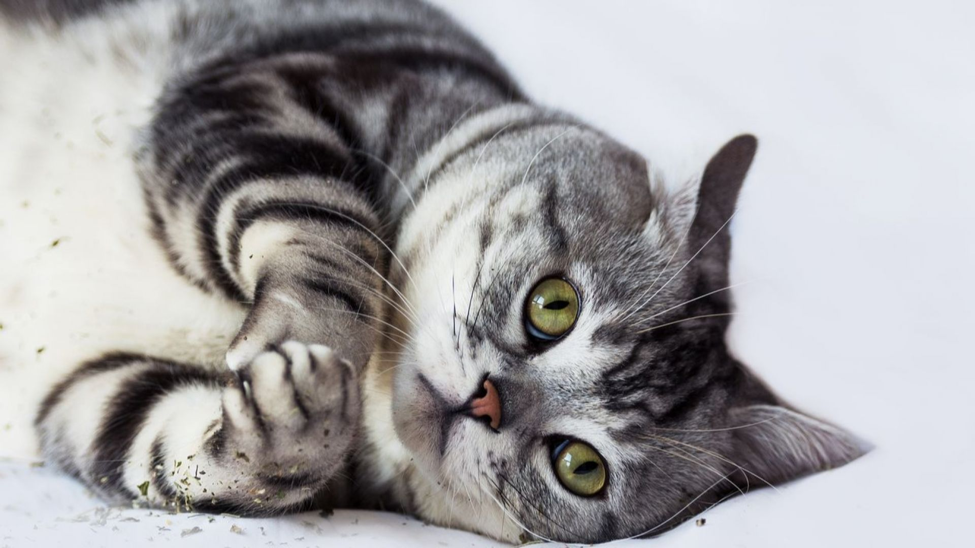Котките -  сред най-мързеливите животни на света