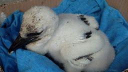 Спасиха малко бяло щъркелче, паднало от гнездото си (снимки)