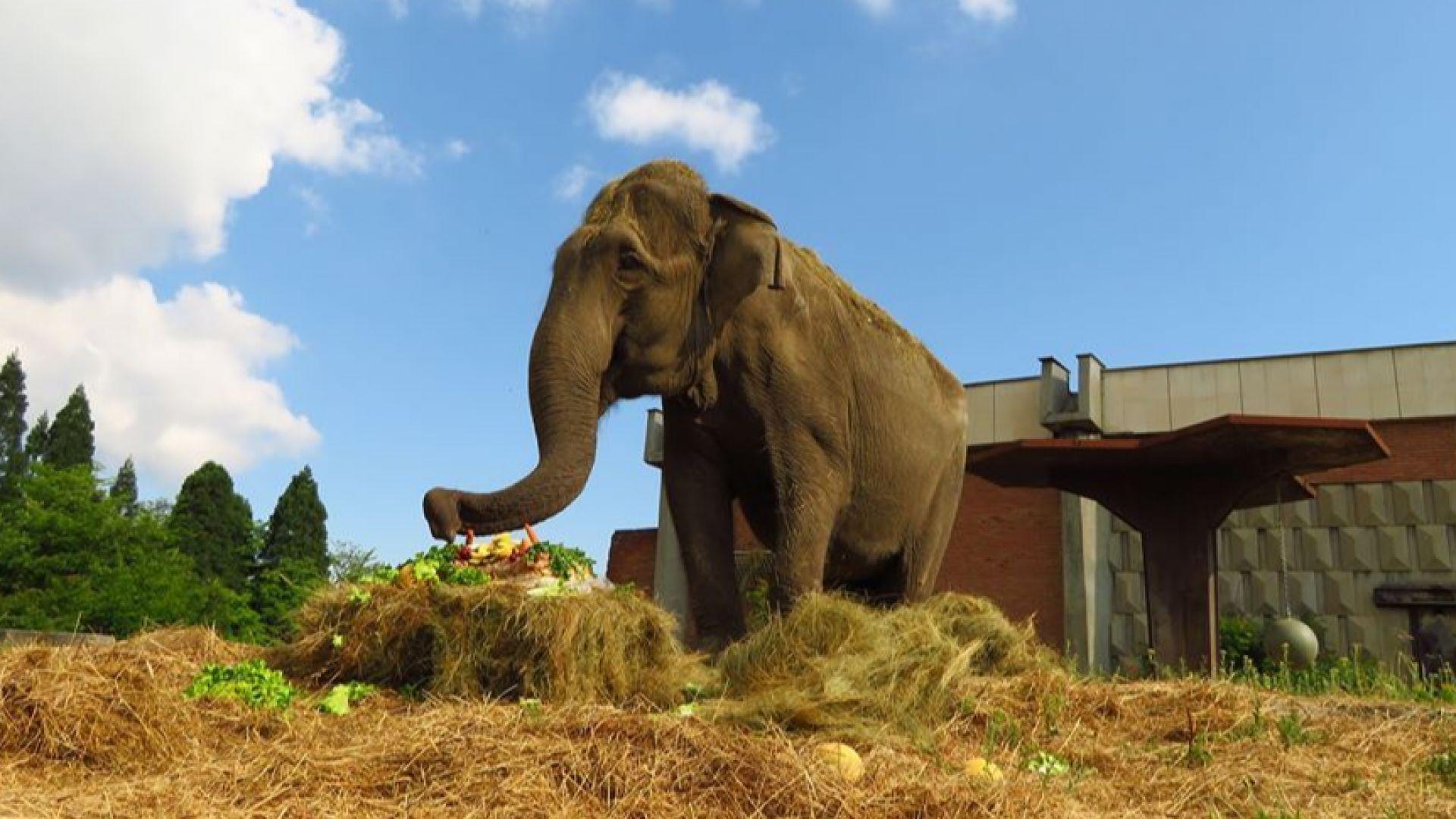 Слоницата Артайда в Софийския зоопарк стана на 57 години!