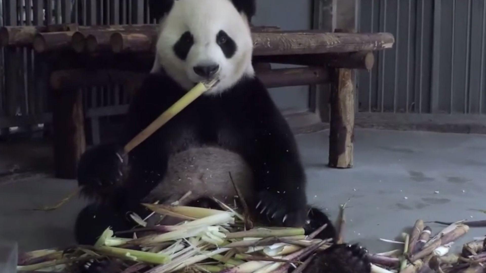Панда избяга от клетката си и обиколи датски зоопарк (видео)