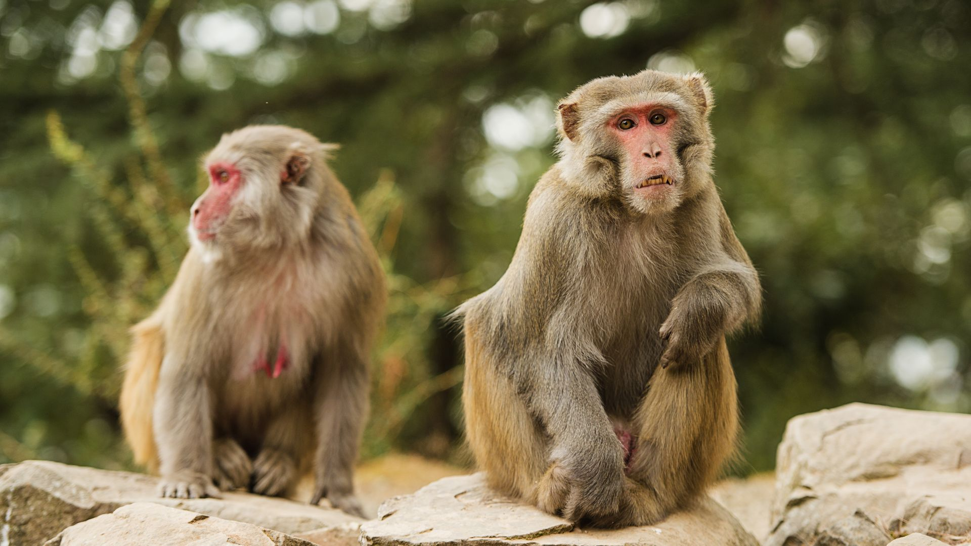 Десетки маймуни избягаха от зоопарк в Япония (видео)