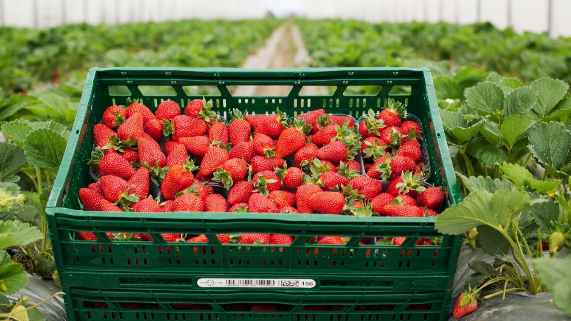 За месец и половина Kaufland предложи близо 47 тона български ягоди