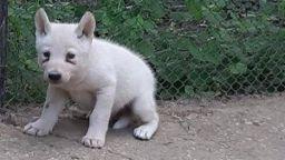 Три бели вълчета се родиха във варненския зоопарк (снимки)