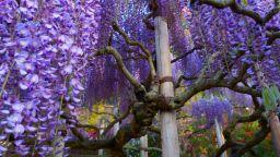 Паркът Ашикага - водопад от глицинии, изящни като гейши (ВИДЕО)