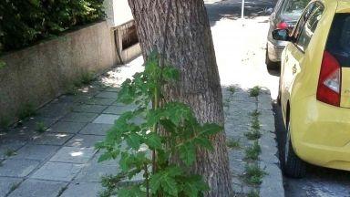Варненец си засади домати на улицата (снимки)
