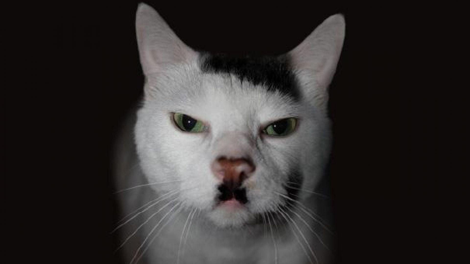 Котките, които приличат на Хитлер, са нежелани от много стопани