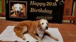 Оги - най-възрастният голдън ретривър в кучешката история