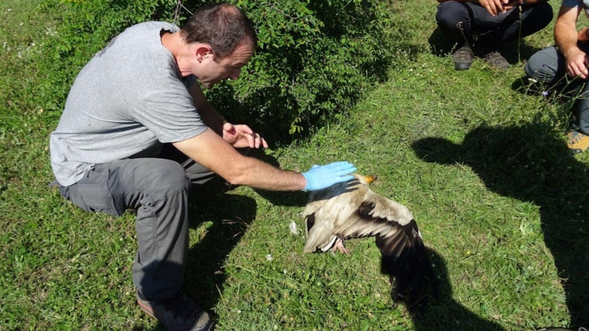 Отровиха семейство египетски лешояди в сърцето на Източните Родопи (снимки)