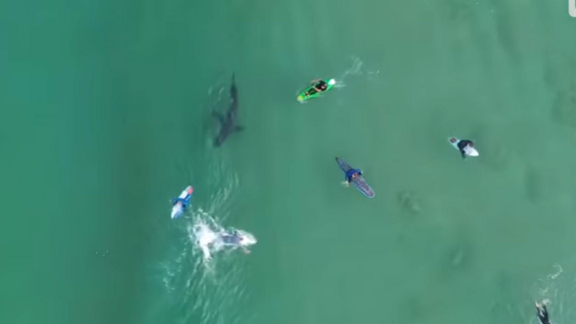 Огромна акула дебне сърфисти в Плетенбърг Бей (видео)