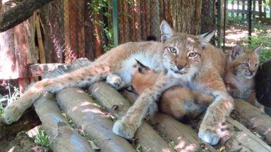 Критично застрашени евроазиатски рисчета се рoдиха в Софийския зоопарк (видео)