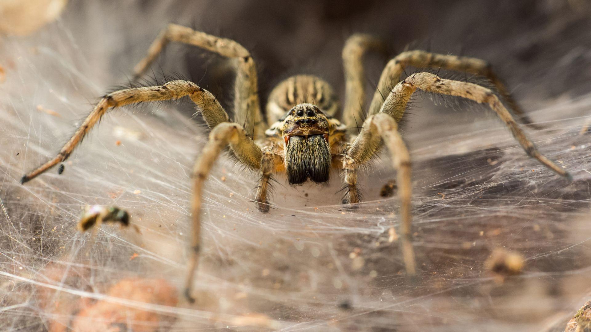 Вид паяци връзват партньорките си по време на любовния ритуал