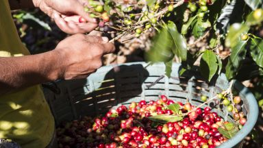 Реколтата от кафе на Коста Рика може да остане неприбрана