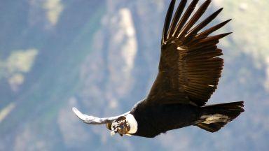 Кондорите могат да се реят във въздуха 160 км, без да размахат криле