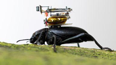 Учени поставят миниатюрни камери върху бръмбари