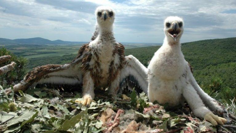 Царски орел е прострелян край Ямбол, съобщиха от Българското дружество
