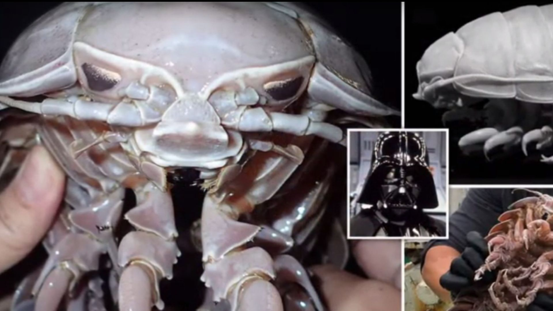 """Откриха зловеща морска хлебарка """"Дарт Вейдър"""" (видео)"""