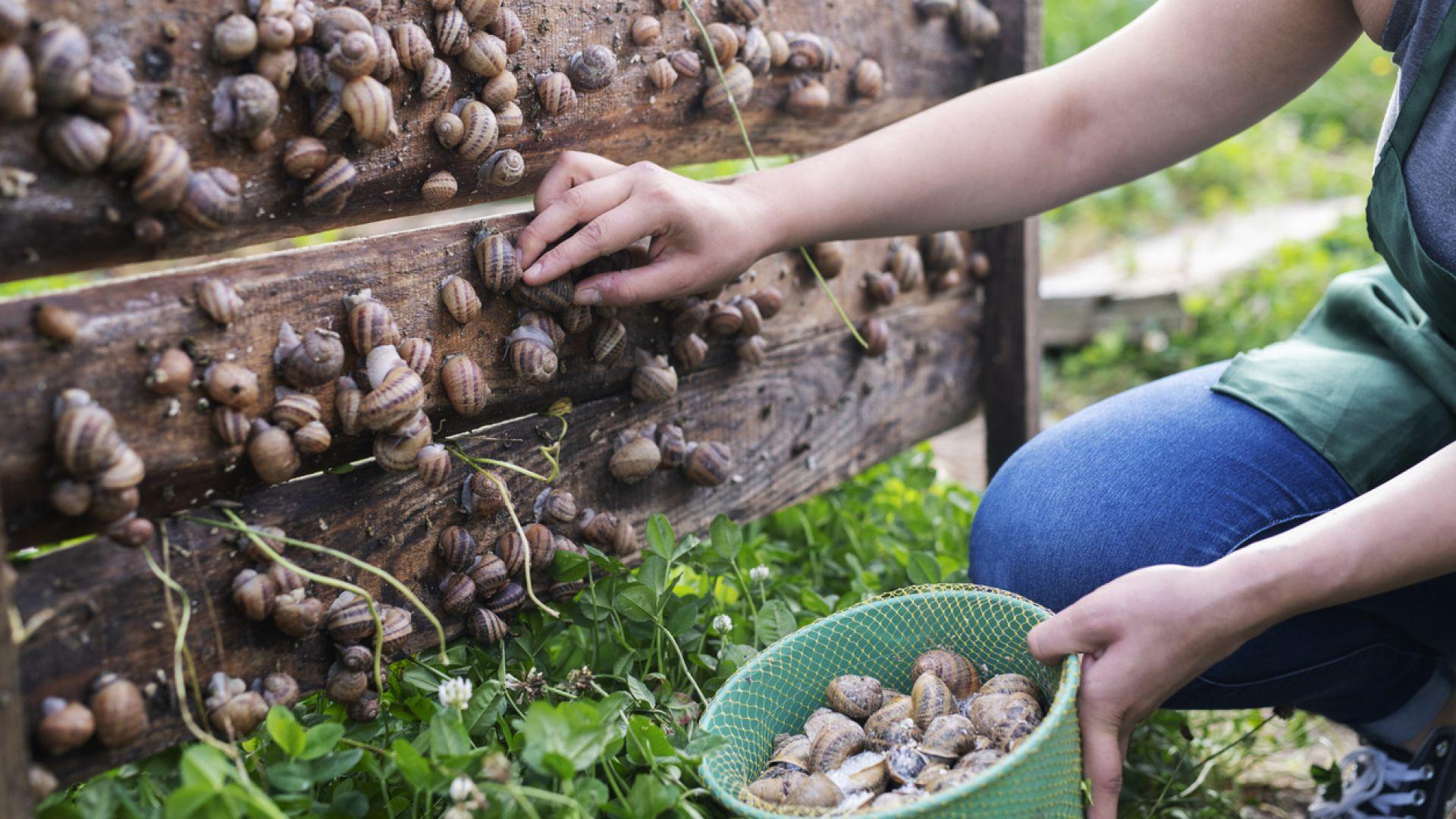Коронавирусната криза нанесе удар по охлювната индустрия на Украйна