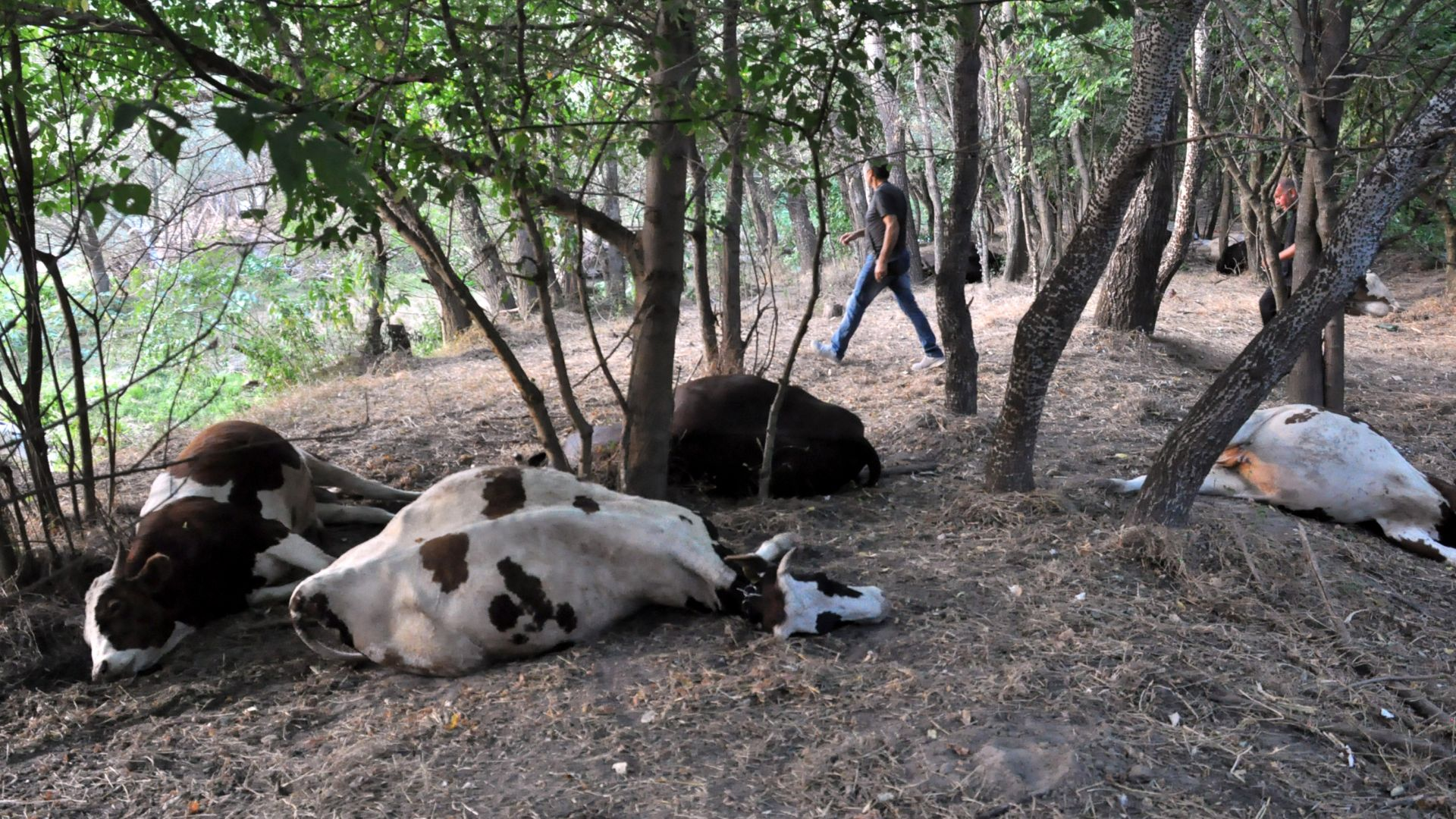 Пожар изпепели цяло стадо крави в село Белица