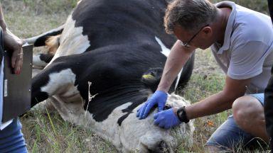 Фермерът, чието стадо крави измря, заради отравяне на река Марица, ще бъде обезщетен