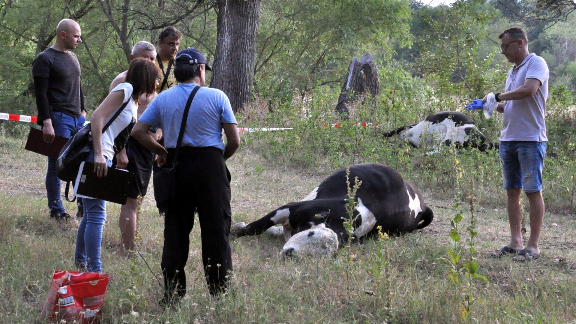 Установиха веществото, отровило кравите край Димитровград