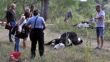 Обезщетяват с 37 000 лева фермера, чиито крави бяха отровени в река Марица