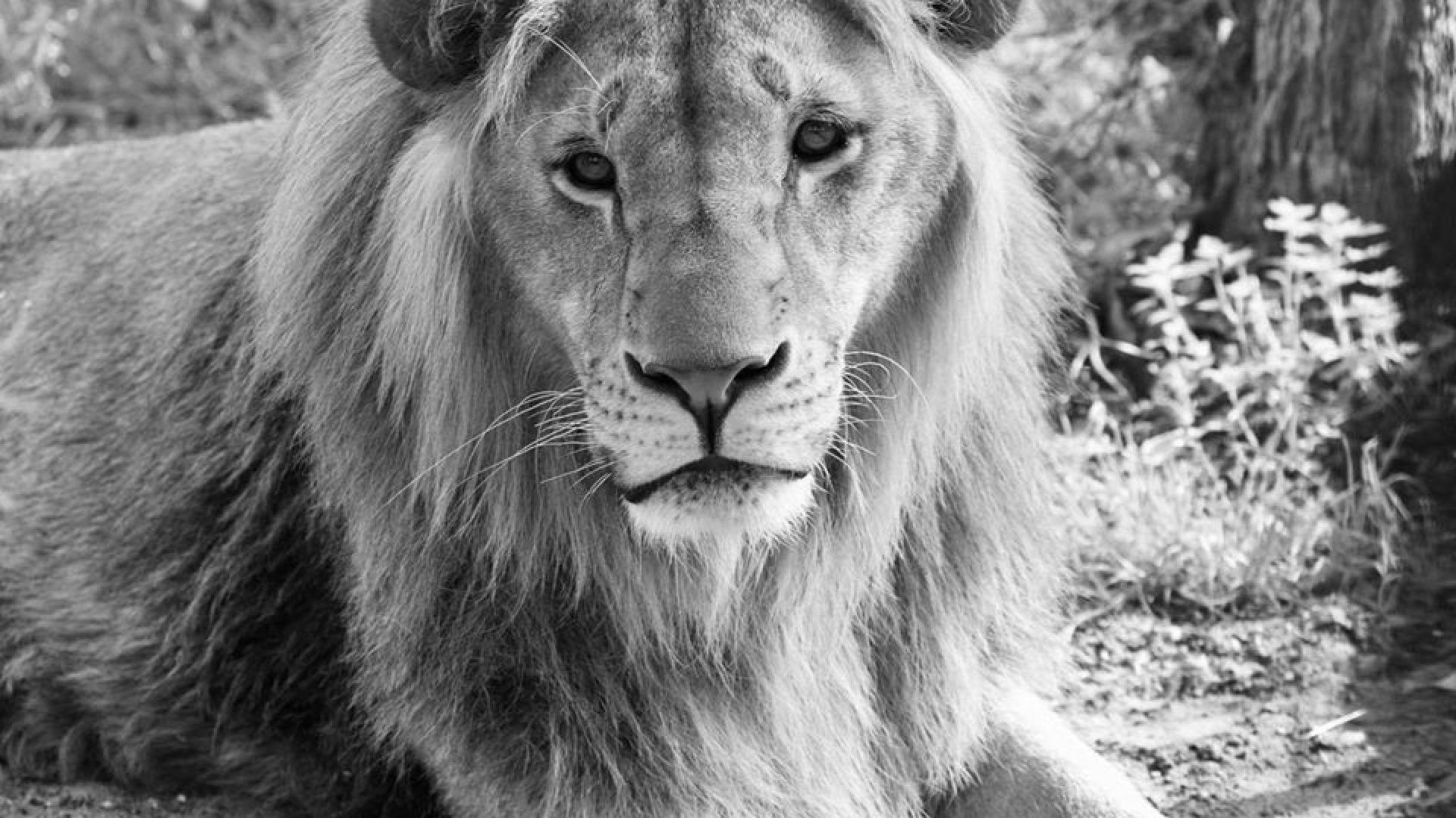 Разградският лъв Масуд почина в Нидерландия