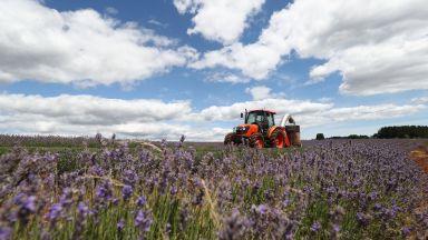 Как България стана глобален лидер в производството на лавандула