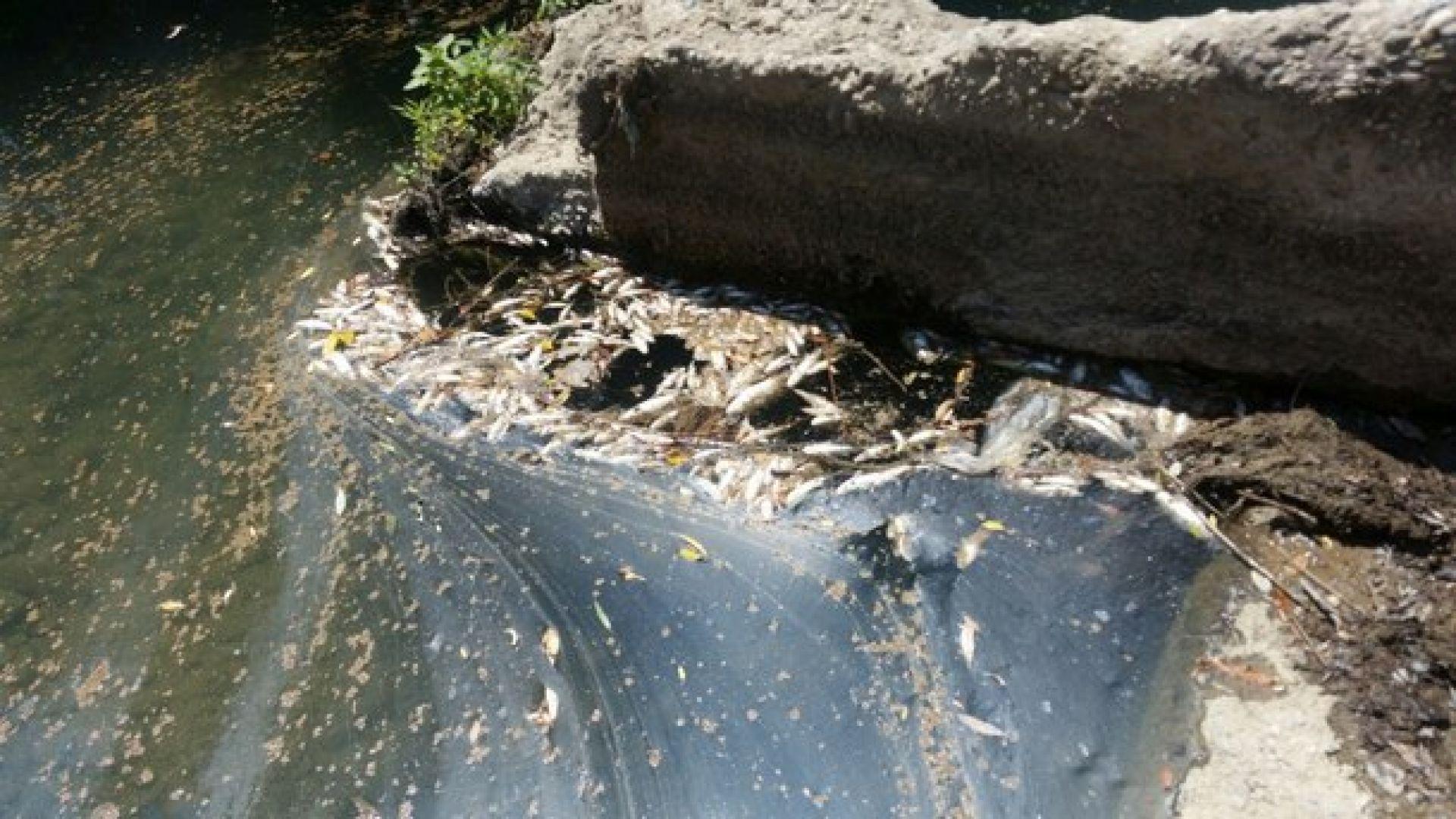 Мъртва риба изплува в река Равногорска край Брацигово