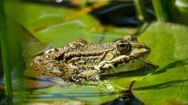 Насекомо може да оцелее в корема на жаба
