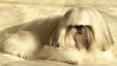 Куче с прическата на Лейди Гага е хит в мрежата