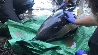 Спасиха заседнал делфин след 5-часова операция (видео)