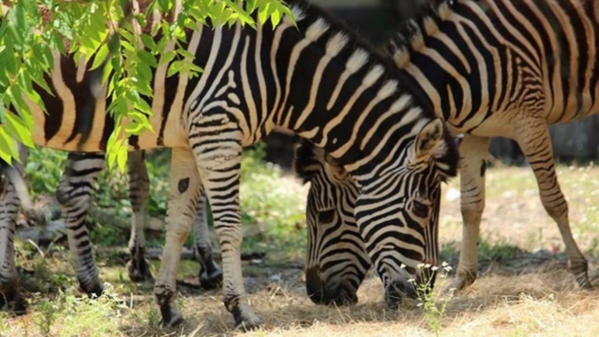Софийският зоопарк получи стадо равнинни зебри (снимки)