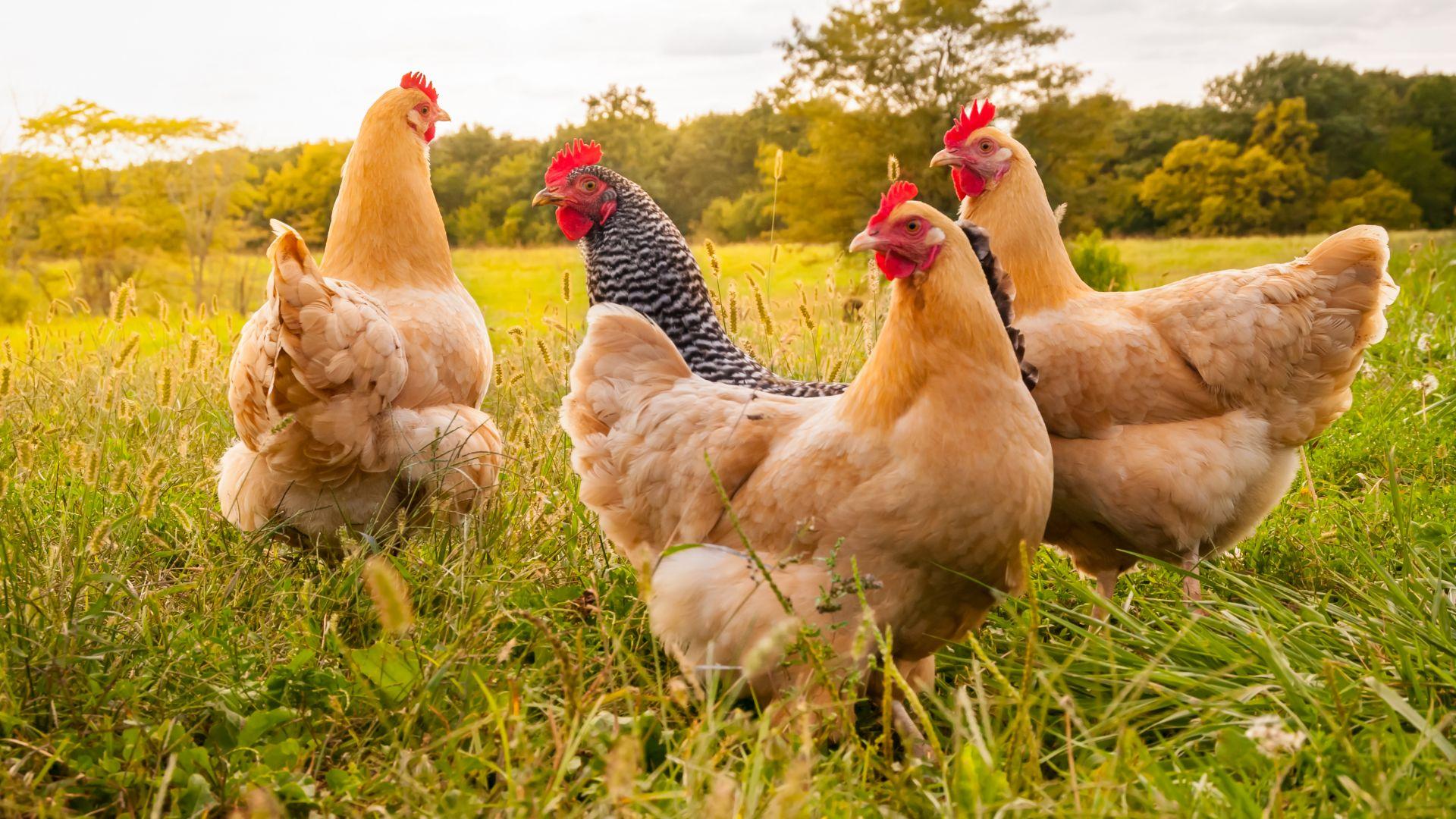 Проучване: 70% генетично сходство между хората и кокошките
