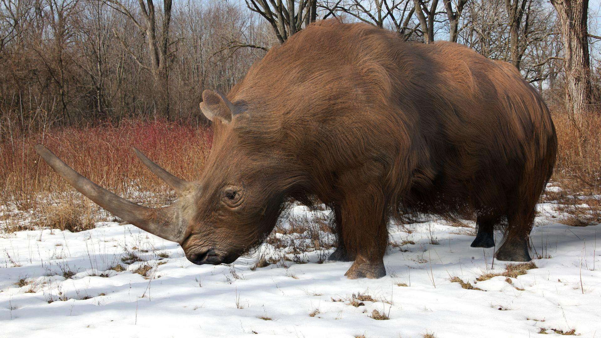 Вълнестият носорог е станал жертва на затоплянето както мамута