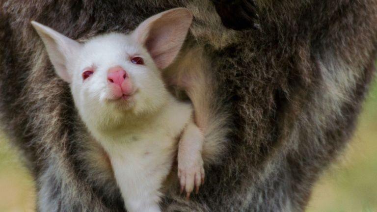 Миниатюрно бебе кенгуру албинос изчезна от зоологическата градина в гр.