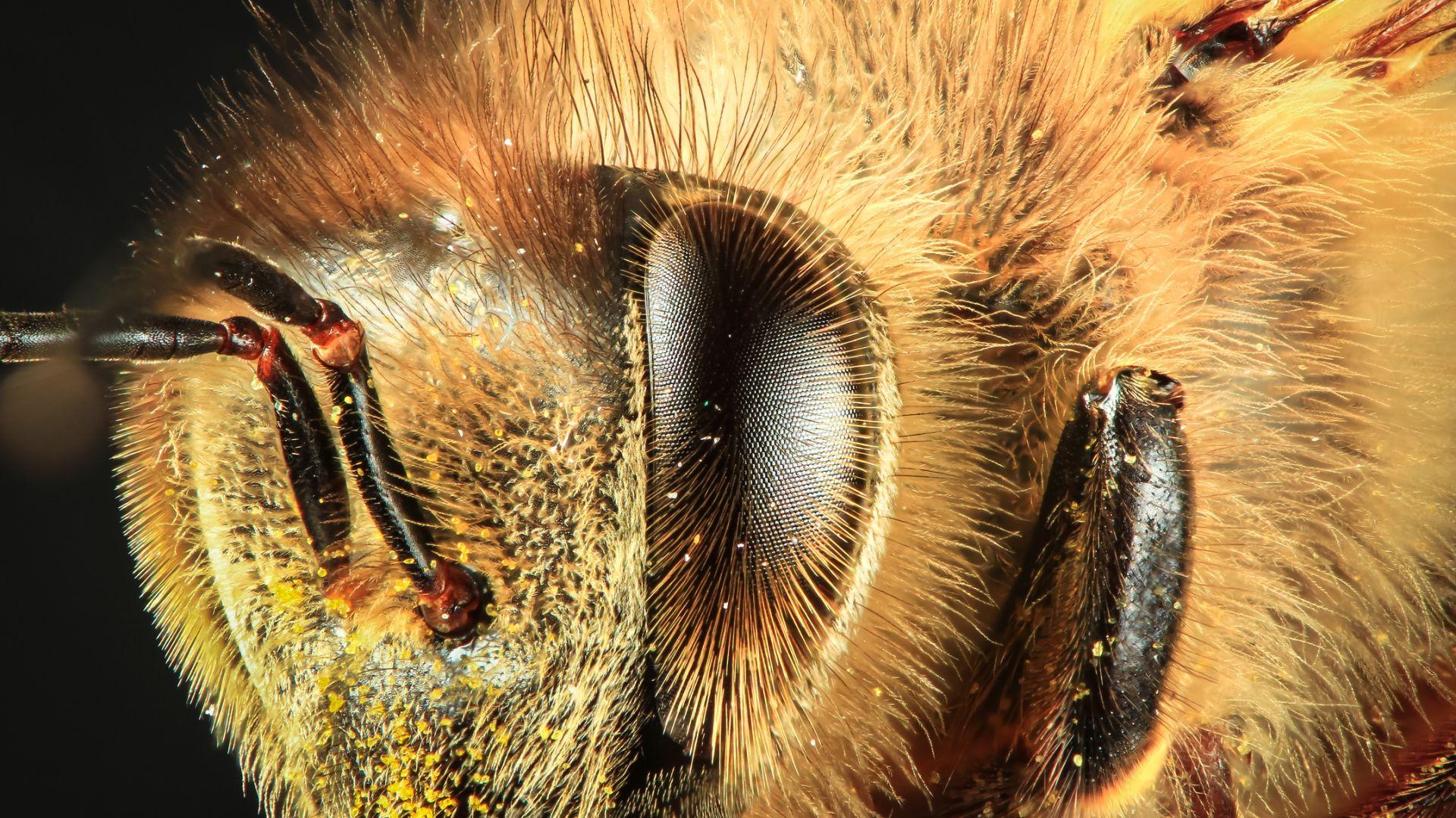 Южноафрикански пчели могат да се клонират милиони пъти