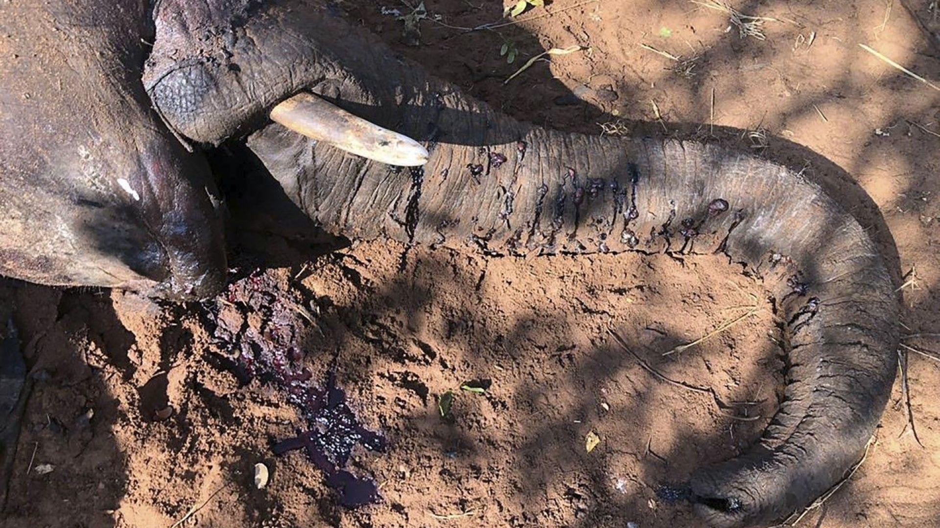 Масова смърт на слонове в Зимбабве: властите недоумяват каква е причината
