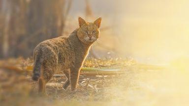 Наши учени заснеха редки кадри на северния подвид на тръстиковата котка